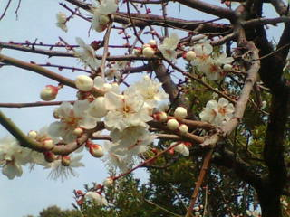 梅の花が見頃です